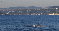 Dolphins reclaim Bosphorus amid virus lockdown in Istanbul